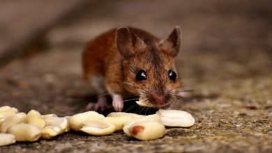 Photo of Do you have a mice problem in your house? – Here is the solution